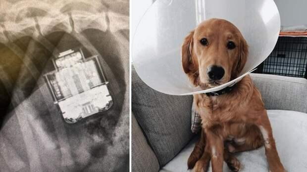 Наушники продолжили работать в животе проглотившего их пса