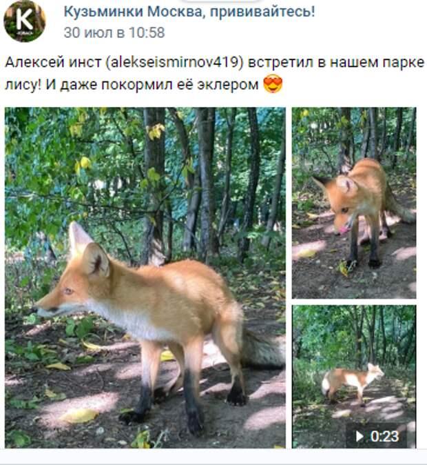 Житель Кузьминок накормил эклером дикую лису в парке