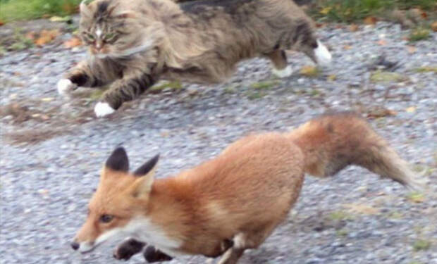Лиса пробралась поживиться едой и встретила кота-охранника