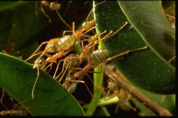 Муравьи-портные, или муравьи-ткачи, или экофилла