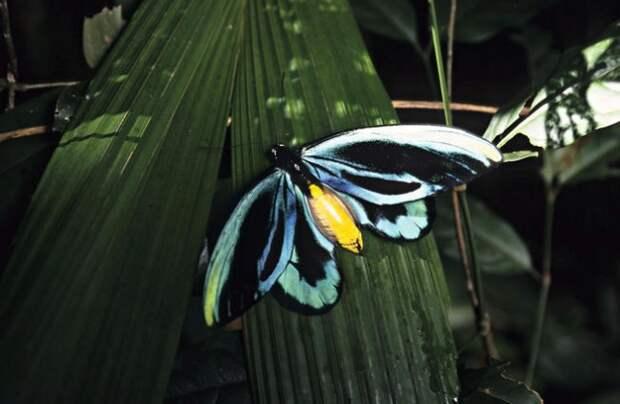 Птицекрылка королевы Александры (Ornithoptera alexandrae )