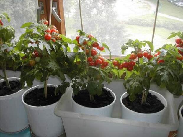 Как вырастить помидоры, не выходя из квартиры. Обсуждение на LiveInternet - Российский Сервис Онлайн-Дневников