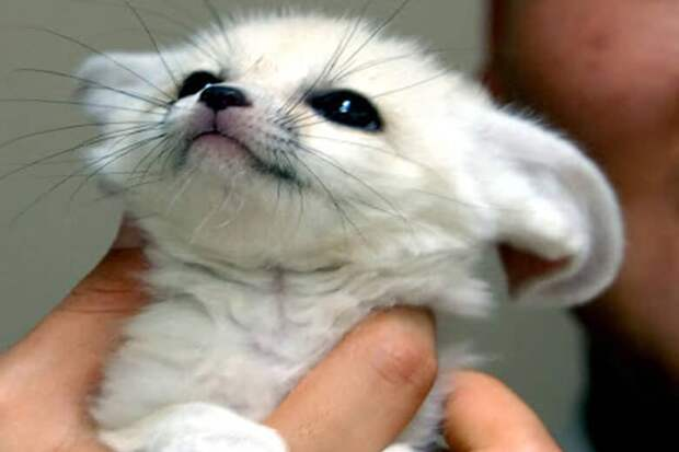 Белый лис остался у меня по просьбе знакомой, в итоге девушка больше не появляется, а мне приходится жить с лисой