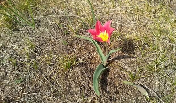 Оренбургская степь украсилась цветущими тюльпанами Шренка