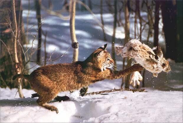 Есть у зайцев лишь одна осечка: чем быстрее они бегут, тем заметнее становятся. Дело в том, что пот у них выделяется лишь через подушечки лап. Вот и получается, что чем активнее косой улепётывает, тем сильнее он пахнет для хищника.