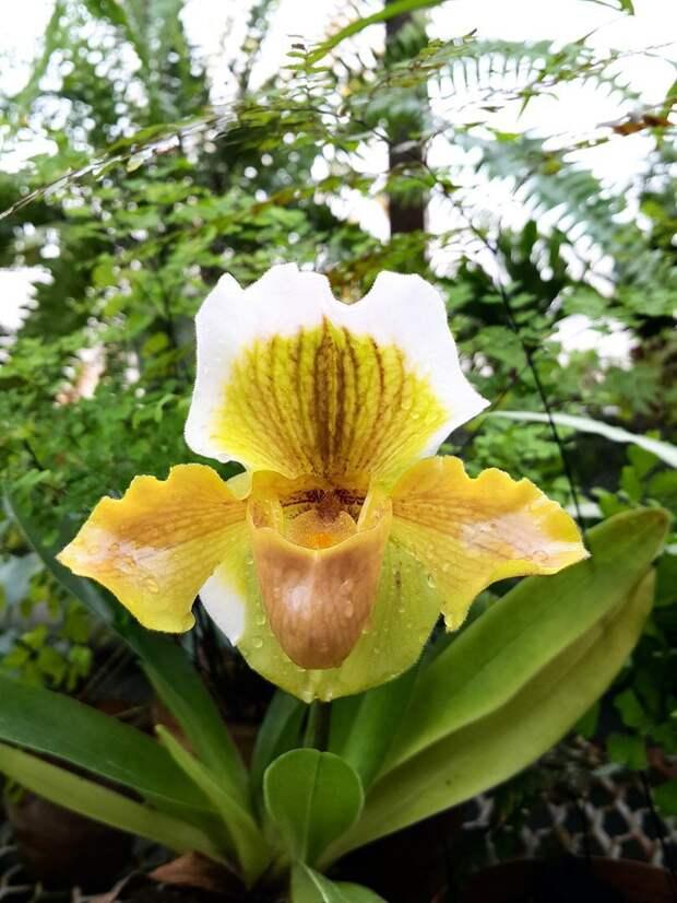 Размножение орхидей семенами. Мой опыт