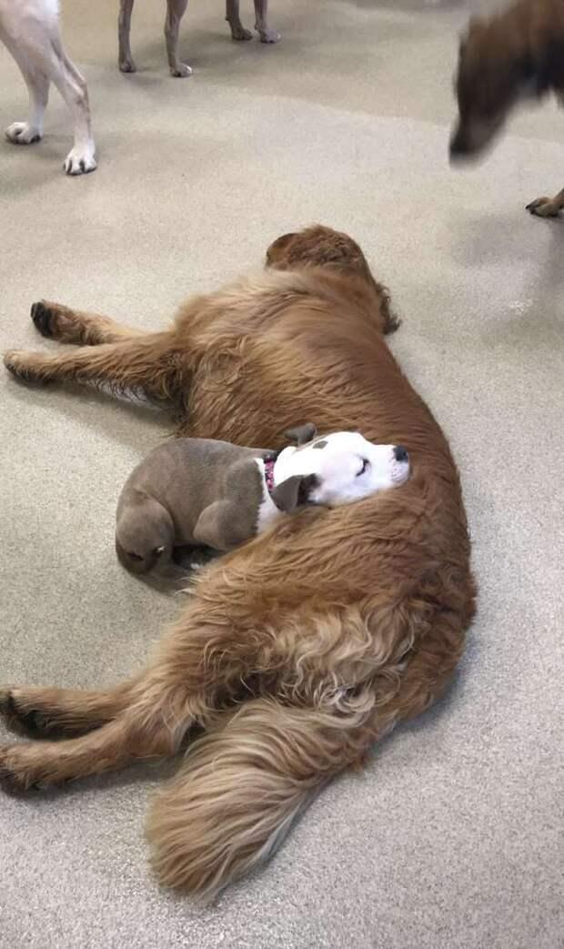Если это не любовь, то что тогда? Щенок находит самую пушистую собаку среди своих друзей, чтобы поспать на ней