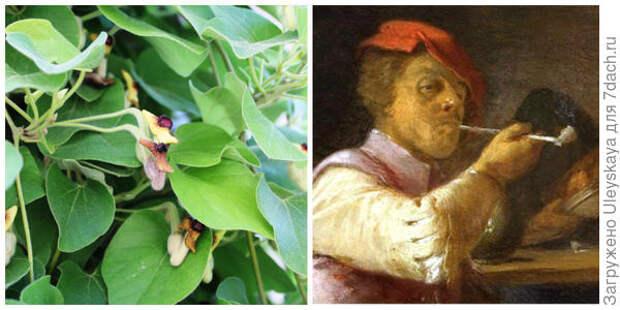 Цветки кирказона войлочного, фото автора. Голландская трубка из глины. Фото с сайта 7iskusstv.com