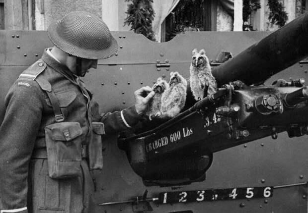 Курсант 1-й польской танковой дивизии кормит сов. 17 мая 1943 года. Великобритания. история, ретро, фото