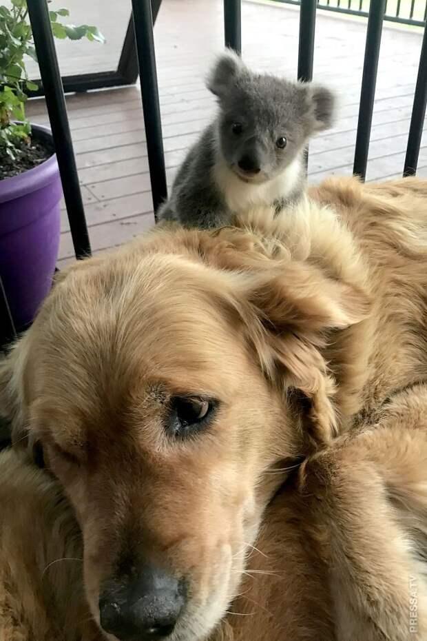 Золотистый ретривер Аша спасла маленькую коалу