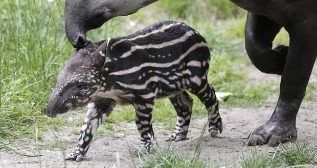 Первый за 100 лет тапир родился в дикой природе Бразилии