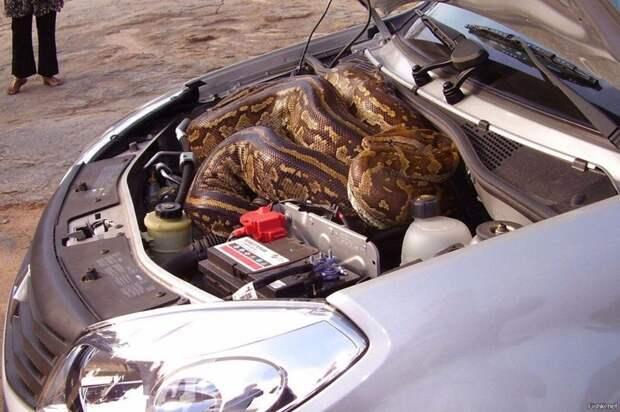 Там можно обнаружить самых необычных представителей фауны авто, автомобиль, живность под капотом, неожиданная встреча, неожиданно, неожиданность, под капотом