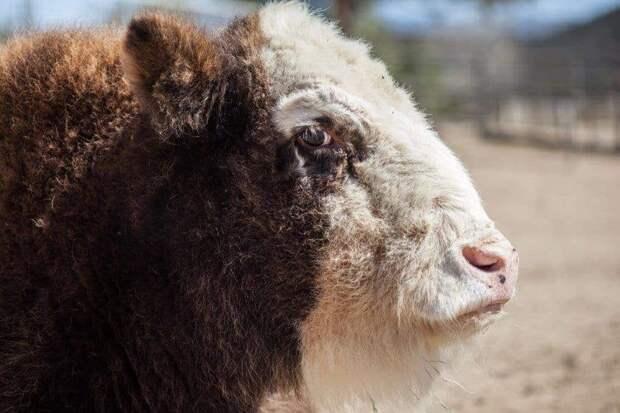12 гибридных животных, в существование которых сложно поверить