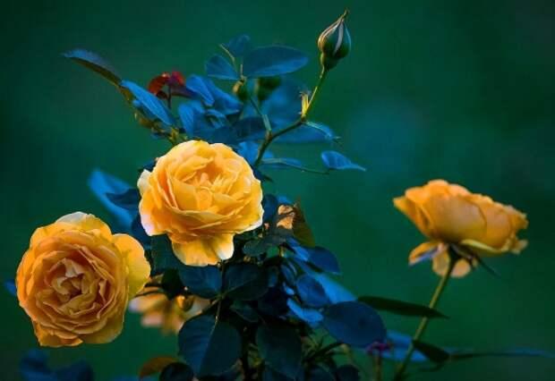 розы фото 170320 – 08