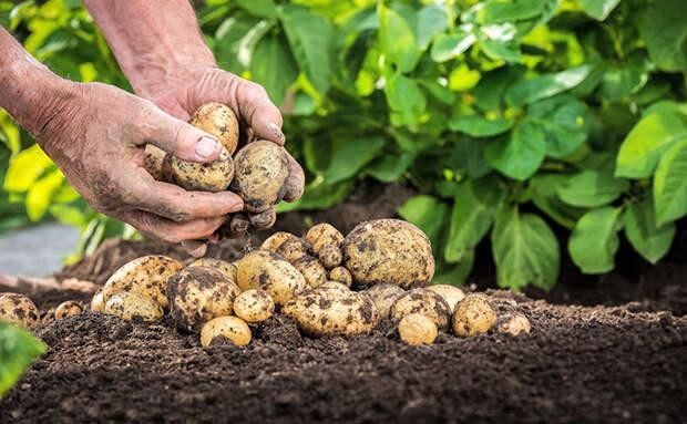 Сажаем картофель не сразу в огород, а как рассаду. Урожай придет на месяц раньше