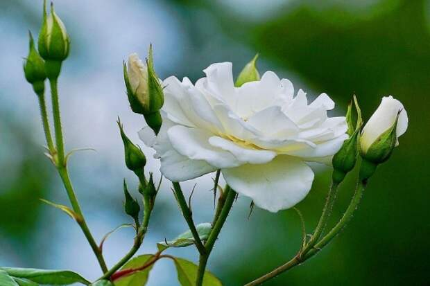 розы фото 170320 – 19