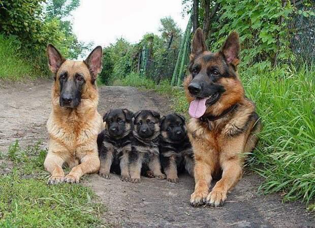 Немецкие овчарки — страшные-ужасные собаки! Вот 15 причин, почему