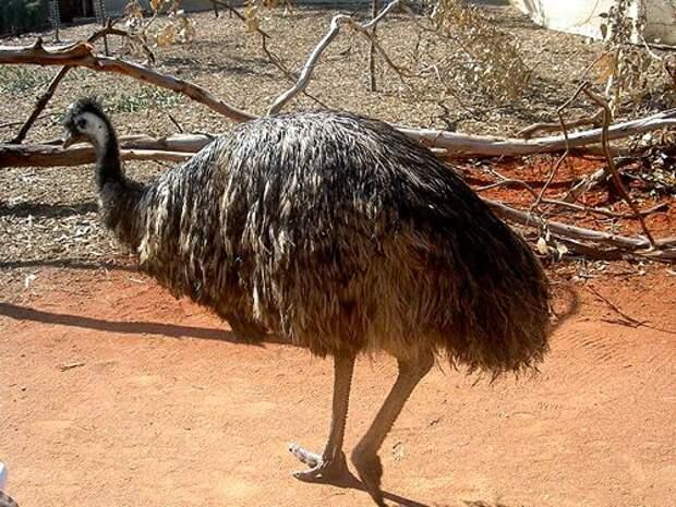 Страус-Эму-птица-Описание-и-образ-жизни-австралийского-эму-1