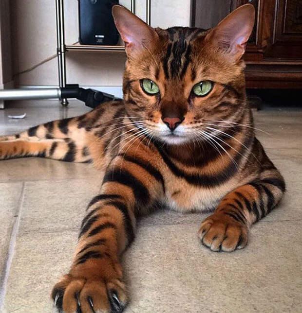 Бенгальский котёнок находился в траве возле дома, добрый мужчина не смог пройти мимо, и взял его под свою опеку