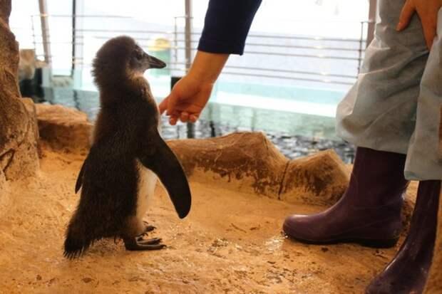 В Красноярске растет пингвиненок по кличке Чуди (12 фото + 2 видео)