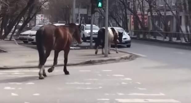 Сбежавших с подворья лошадей отловили в центре Тюмени