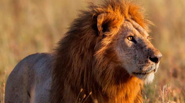 Почему лев царь зверей, а не тигр?