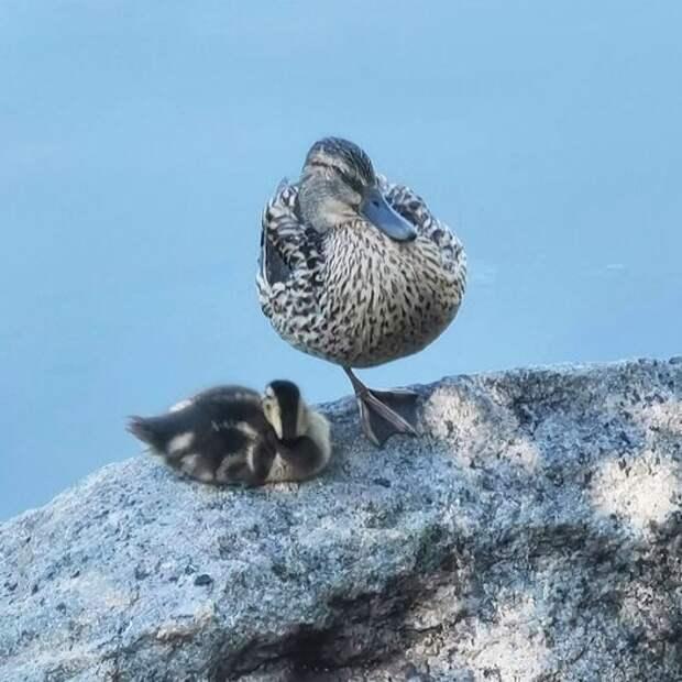 Фото дня: мама утка охраняет своего детеныша в Лианозовском парке
