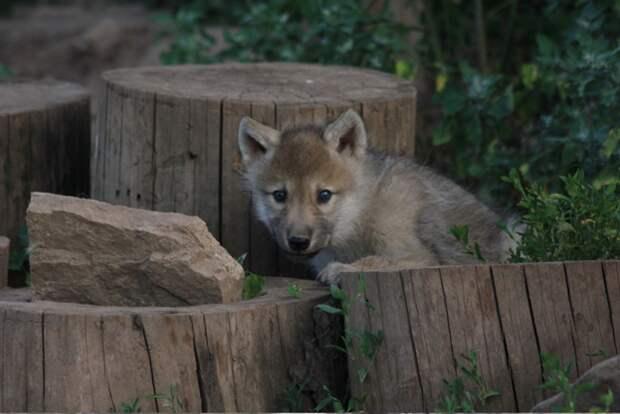 Старик нашел раненую волчицу, ему удалось спасти ее волчонка, потом волк неожиданно отблагодарил всю деревню