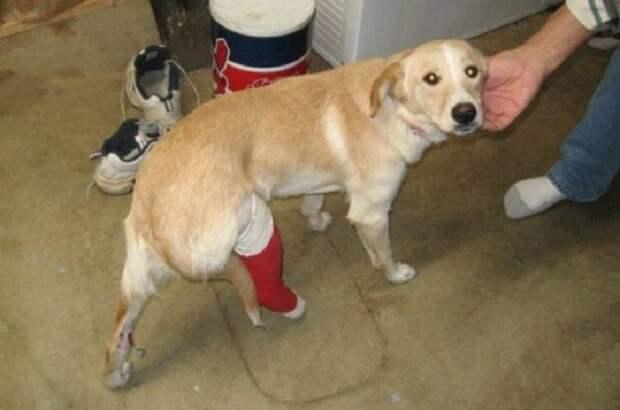 Собака с гипсом