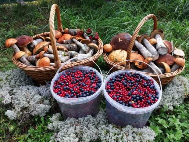 Неужели в этом году нам не дадут собирать грибы, ягоды, орехи и другие дары наших лесов