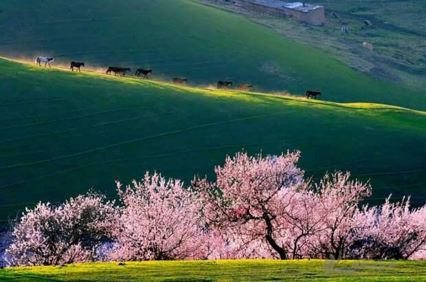 Абрикосовая долина Йили в Китае