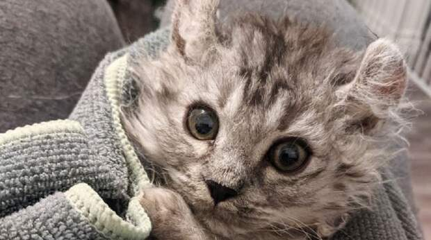 Женщине принесли на передержку бесхвостого котёнка. Спустя неделю появился ещё один – с такой же проблемой