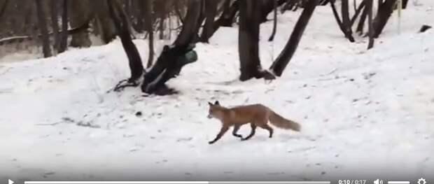 Фото дня: внезапная встреча с лисой в парке
