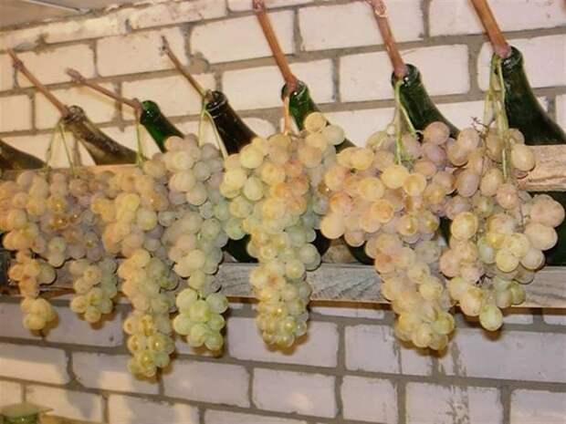 О хранении гроздей на лозе в бутылках