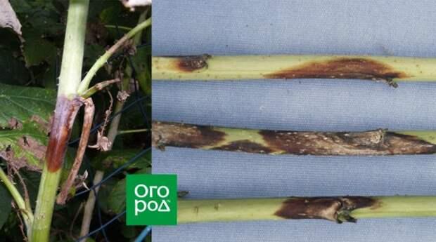 Пурпуровая пятнистость на стеблях малины