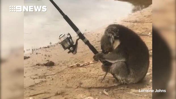 Коала-рыболов развеселила австралийцев