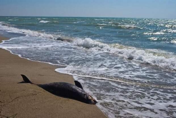 Украинские браконьеры убили почти пятьдесят дельфинов в Чёрном море (ВИДЕО)