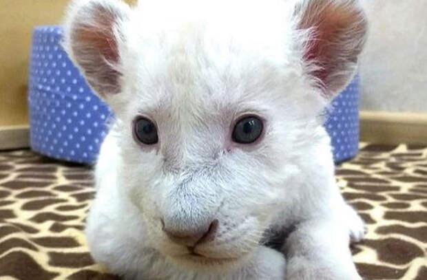 В зоопарке Ярославля выбирают имя для белого львенка