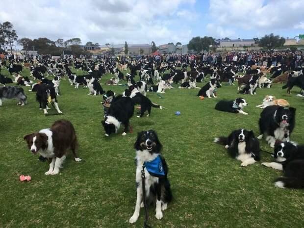 576 собак породы бордер-колли и их хозяева собрались в парке Уилластон, чтобы побить мировой рекорд Порода, австралия, бордер-колли, животные, мероприятие, рекорд, собака