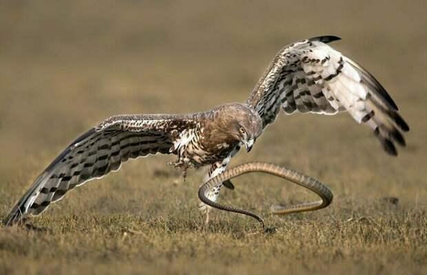 Орел молниеносно среагировал Тамилнад, животные, змея, индия, орел, схватка, хищник