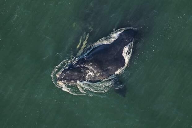 Популяция северных гладких китов продолжает сокращаться. Их осталось всего 366