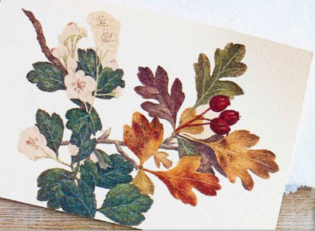 боярышник лекарственные растения