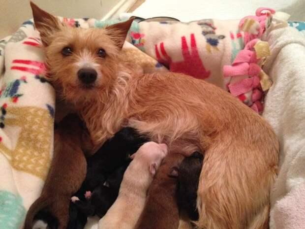 Собака, потерявшая своих щенят, принимает сирот