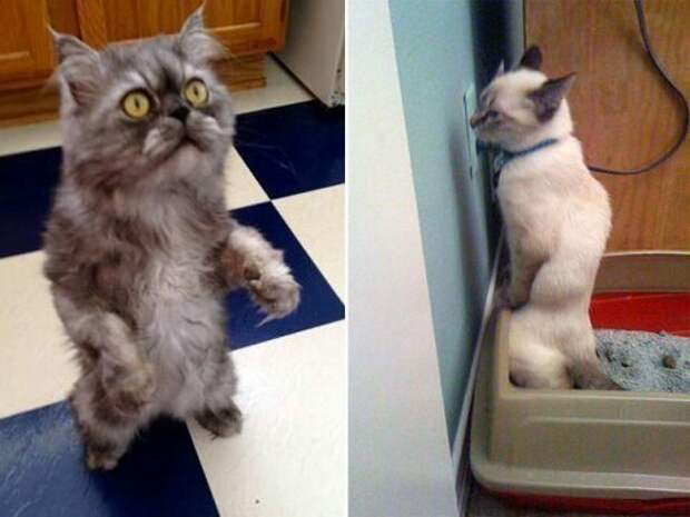Кошки, уже научились стоять на двух лапах коты, кошки, фото