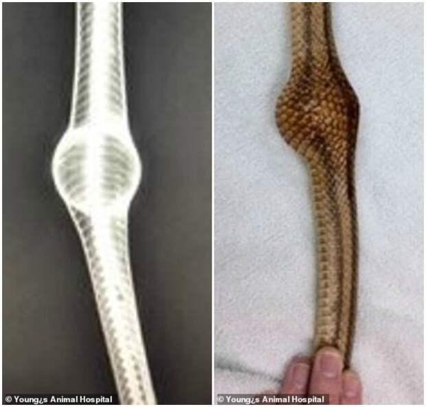 Сначала врачи думали, что рептилия проглотила яйцо, но рентген выявил нечто другое - мяч для пинг-понга. ветеринары, животные, змеи, змея, помощь животным, природа, рептилии, спасение животных