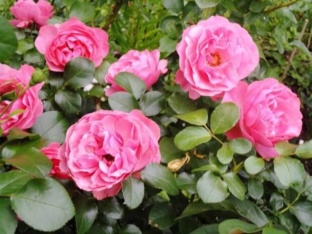 Беспроблемная роза Leonardo da Vinci. Фото автора
