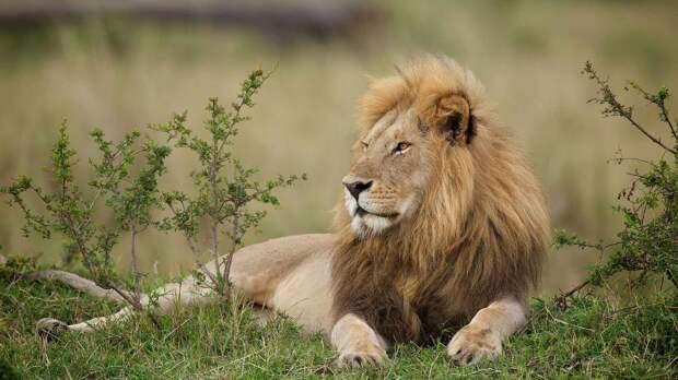 Лев является крупным хищником из семейства Кошачьи