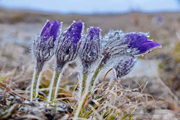 Первые цветы Крыма. Уже скоро!