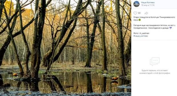 Фото дня: огари нашли болотца в Тимирязевском лесу
