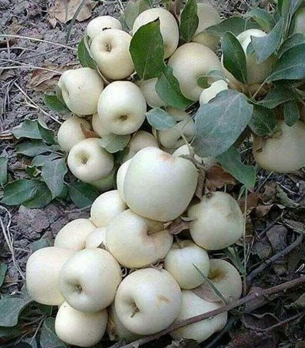 Яблоки, персики и груши. Хоть и не экзотика, но тоже очень много еда, изобилие, красиво, растения, урожай